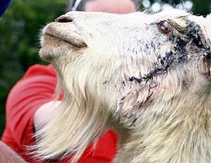 injured-goat-nz