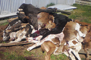 dead calves - NZ